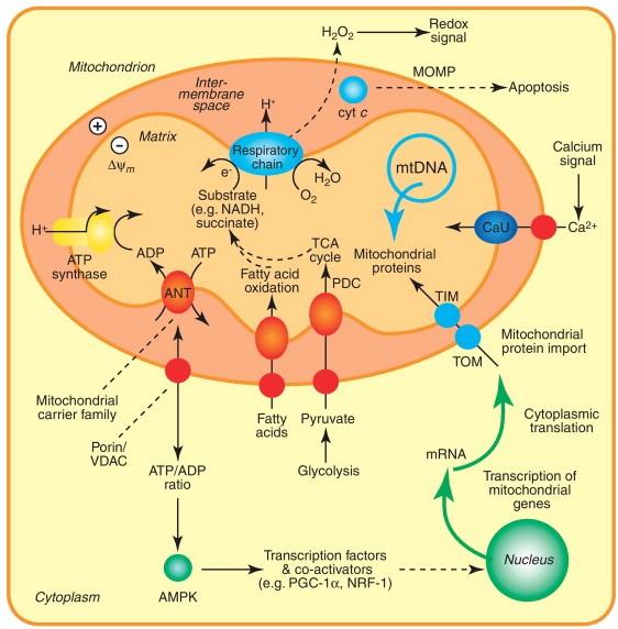 Mitochondria diagram3